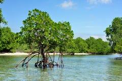 Mangroveskog och träd i den västra Bali Taman nationalparken Arkivbilder