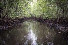 Mangroveskog runt om en kanal Arkivbild