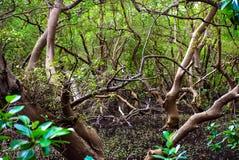 Mangroveskogar Royaltyfri Bild