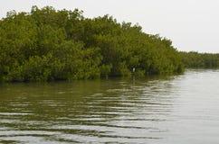 Mangroveskogar i området för Saloum floddelta, Senegal, Västafrika royaltyfri foto