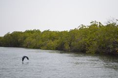 Mangroveskogar i området för Saloum floddelta, Senegal, Västafrika arkivbilder