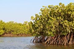 Mangroveskogar i området för Saloum floddelta, Senegal, Västafrika royaltyfria bilder