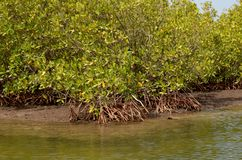 Mangroveskogar i området för Saloum floddelta, Senegal, Västafrika royaltyfri bild