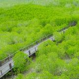 Mangroveskoggångbana royaltyfria bilder