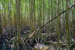 Mangroveskognatur och Forest Klaeng i Rayong, Thailand royaltyfria foton