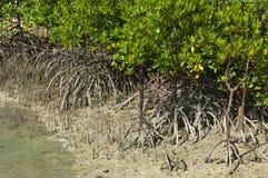 Mangrovespruiten en luchtwortels Royalty-vrije Stock Foto's
