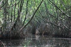 Mangrovestruikgewas Bentotarivier Sri Lanka Stock Fotografie