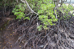 mangrovesvåtmark Arkivfoton