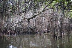 mangrovetangle Royaltyfri Bild