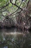 mangrovetangle Arkivbild