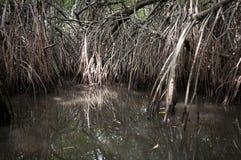mangrovetangle Royaltyfri Fotografi