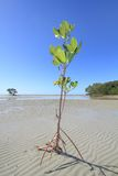 Mangroveträd Royaltyfri Foto