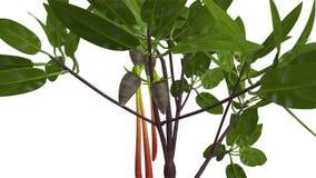 Mangroveträd vektor illustrationer