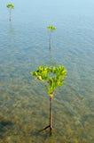 Mangroveträd Royaltyfria Bilder