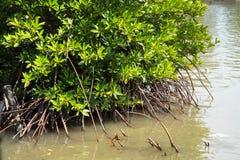 Mangroveträd i södra Vietnam arkivbilder