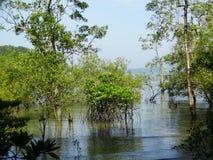 Mangroveträd i vatten, Bako nationalpark sarawak städer malaysia arkivbild
