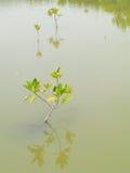 Mangroveträd, Thailand Arkivbilder