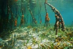 Mangroveträdet rotar det undervattens- karibiska havet Arkivbild