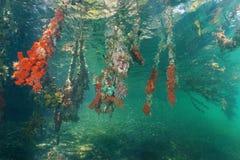 Mangroveträdet rotar dolt vid färgrikt havsliv Arkivbild