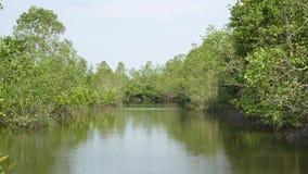 Mangroveträdet rotar i Långsam-flyttning vatten låter fina bottensatser ackumulera stock video