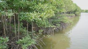 Mangroveträdet rotar i Långsam-flyttning vatten låter fina bottensatser ackumulera lager videofilmer