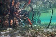 Mangroveträdet rotar med havssvampar under havet Arkivfoto