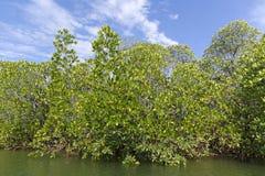 Mangroveträsk Royaltyfri Bild