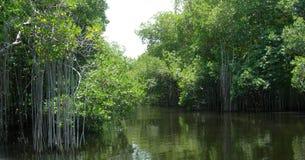 Mangroveträsk på den svarta floden Jamaica royaltyfri bild