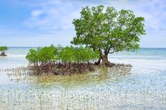 Mangrovetree. Siquijor ö, Philippines Royaltyfri Fotografi