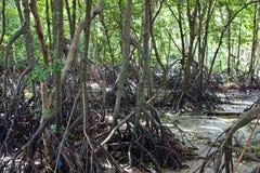 Mangrovewald Lizenzfreie Stockfotos