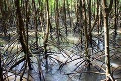 Mangrovewortel Stock Foto's
