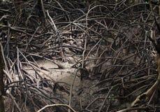 Mangrovewortel, mangrovebos, Thailand Royalty-vrije Stock Fotografie