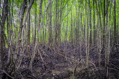 Mangrovewortels Royalty-vrije Stock Fotografie