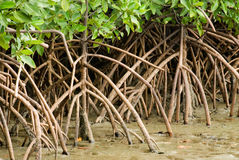Mangrovewurzel. lizenzfreie stockfotos