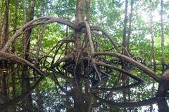 Mangrovewurzeln Lizenzfreie Stockfotografie