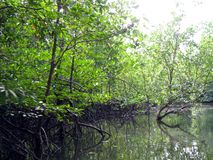 Mangrovia 3 fotografie stock