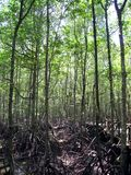Mangrovia 5 immagine stock libera da diritti