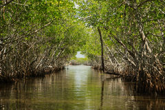 mangrovia Immagine Stock Libera da Diritti