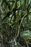 Mangrovia Fotografia Stock Libera da Diritti
