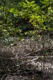 Mangrovia all'isola della scimmia del ` s del Gio della latta, Vietnam del sud Fotografia Stock