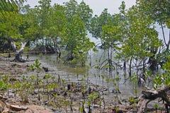 Mangrovia costiera Fotografia Stock