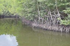 Mangrovia della riva del fiume Fotografia Stock Libera da Diritti