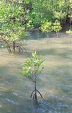 Mangrovia di crescita Immagine Stock Libera da Diritti