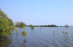 Mangrovia di crescita Fotografia Stock Libera da Diritti