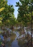 Mangrovia di crescita Fotografia Stock