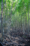 Mangrovia di crescita, foresta Fotografia Stock