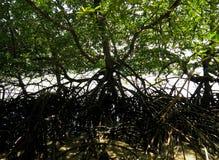 Mangrovia e radici su acqua Fotografie Stock