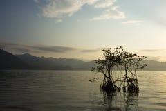 Mangrovia nel mare Fotografia Stock