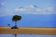 Mangrovia sola Fotografia Stock