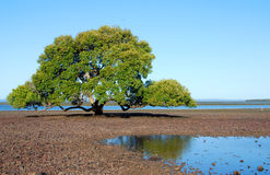 Mangrovia solitaria Fotografia Stock